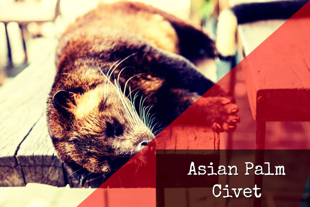 Source of Kopi Luwak - Asian Palm Civet